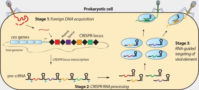 crispr-pathway