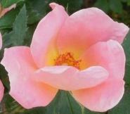 roses in backyard